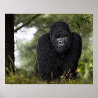 Gorila de montaña y Silverback 3 Póster