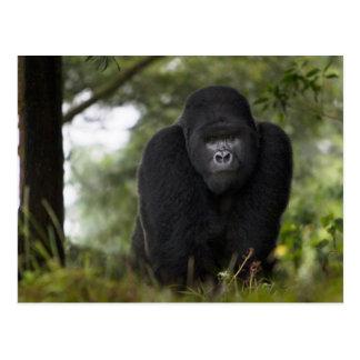 Gorila de montaña y Silverback 3 Postal