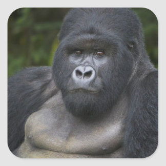 Gorila de montaña y Silverback 4 Calcomania Cuadradas