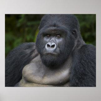 Gorila de montaña y Silverback 4 Póster