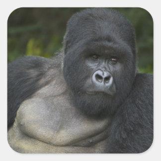 Gorila de montaña y Silverback 5 Pegatina Cuadrada