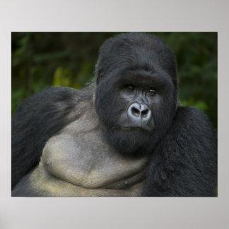 Gorila de montaña y Silverback 5 Póster