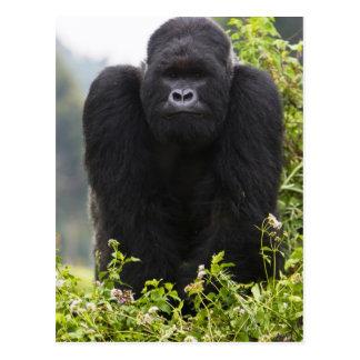 Gorila de montaña y Silverback Postal