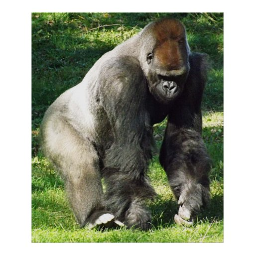 Gorila masculino de la tierra baja del Silverback  Posters