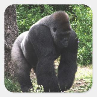 Gorila masculino down.jpg principal que camina del pegatina cuadrada