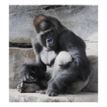 Gorila masculino que mira una polaina posters