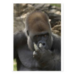 ¡gorila que escoge su nariz - eeeewwwwwwww! tarjetas postales