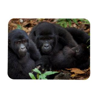 Gorilas de montaña, parque nacional de los iman rectangular