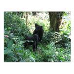 Gorilas de montaña postal