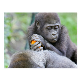 Gorilla and Baby Post Cards