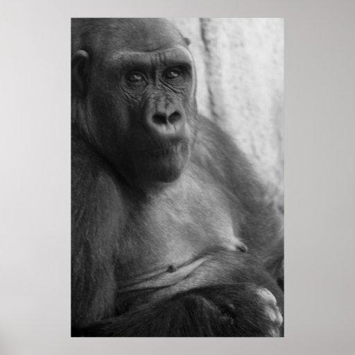 gorilla close up poster