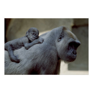 Gorilla Mother and Baby Poster