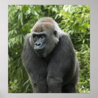 Gorilla Photo Poster