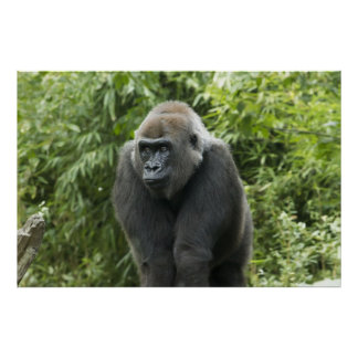 Gorilla Photo Posters