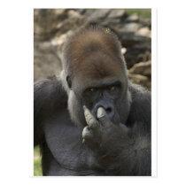 gorilla picking his nose - eeeewwwwwwww! postcard