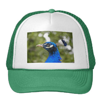Gorra azul del retrato del pavo real