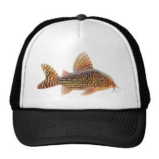 Gorra del siluro de Corydoras Sterbai