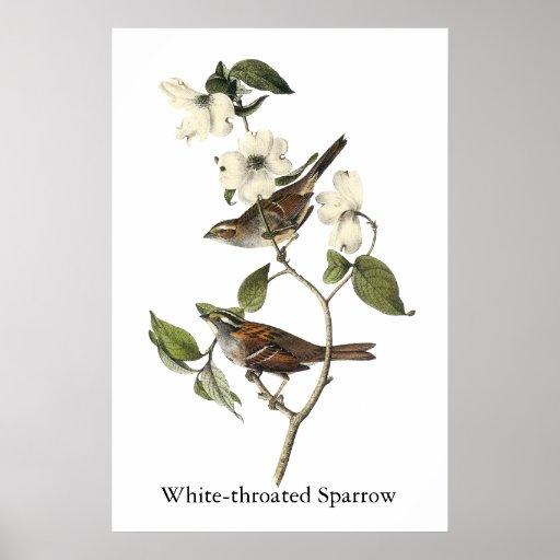 gorrión Blanco-throated - Juan Audubon Posters