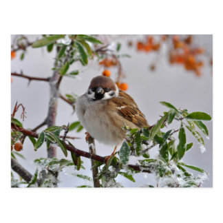 Gorrión de árbol eurasiático en invierno tarjetas postales