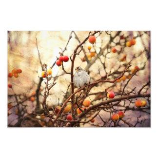 Gorrión en un manzano De cangrejo Impresion Fotografica