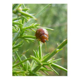 Gorse Beetle Postcard