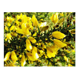Gorse Bush Postcard