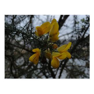 Gorse Flowers Postcard