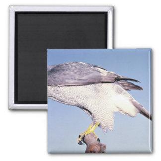 Goshawk, Accipter gentillis, California, U.S.A. Fridge Magnets