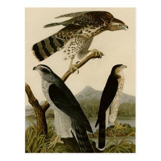 Goshawk Stanley Hawk Post Cards