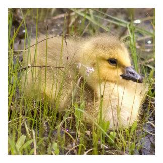 Gosling Bird - Goose Wildlife Photo Print