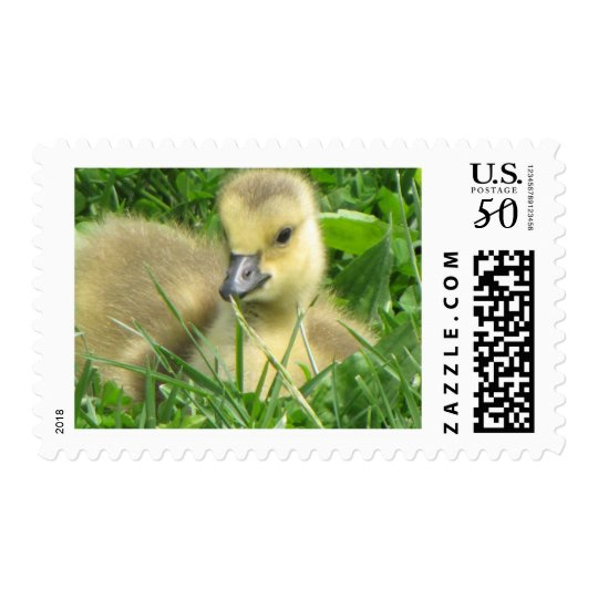 Gosling laying down postage