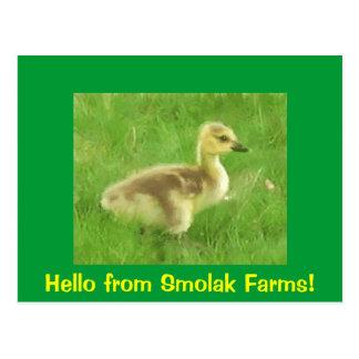 Gosling Postcard