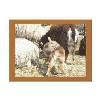GOT AN ITCH ! EWE LAMB - Soay Shetland X Sheep Canvas Print