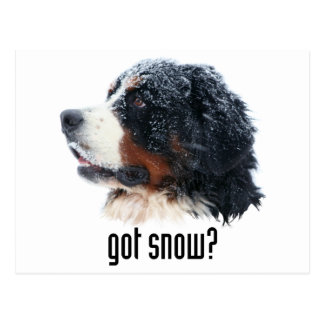 got snow? Bernese Mountain Dog Postcard