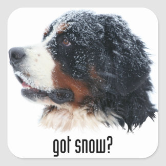 got snow? Bernese Mountain Dog Square Sticker