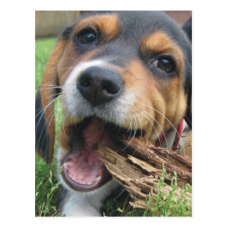 Got Wood? Chewing Beagle Puppy Postcard
