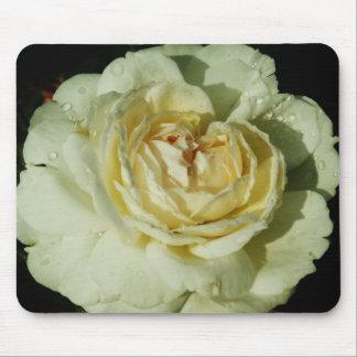 Gotas de agua en el rosa blanco de Champán floral