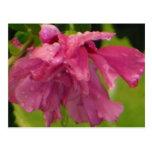 Gotas de agua en el rosa de la flor de Sharon Tarjetas Postales