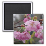 Gotas de agua en las flores de cerezo rosadas imanes para frigoríficos