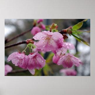 Gotas de agua en las flores de cerezo rosadas poster