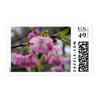 Gotas de agua en las flores de cerezo rosadas sellos