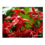 Gotas de agua en una flor roja postal