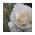 Gotas de rocío en el rosa blanco con el capullo de azulejos
