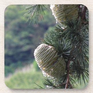 Goteo de la rama de árbol de pino con la resina posavaso
