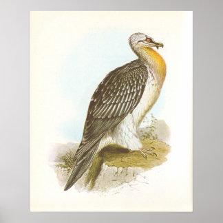 Gould - Bearded Vulture - Lammergeyer Poster