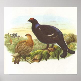 Gould - Black Grouse - Lyrurus tetrix Poster