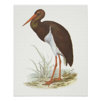 Gould - Black Stork - Cliconia nigra Poster