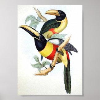 Gould - Cayenne Aracari Toucan Portfolio Poster