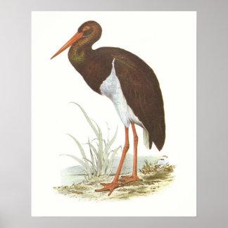 Gould - cigüeña negra - nigra de Cliconia Impresiones