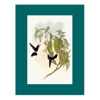 Gould - colibrí canoso de la Soplo-Pierna Tarjeta Postal